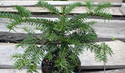 Abies nebrodensis Jungpflanze
