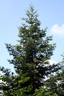 Abies nordmaniana