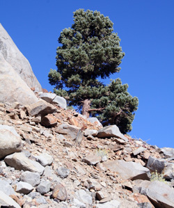 Pinus monophylla - White Mountains, California